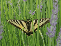 Swallowtail Butterfly in Lavender