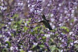 Hummingbird, Mendocino Coast Botanical Garden
