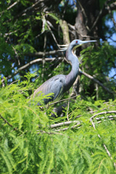 Less Blue Heron, St Augustine, Florida