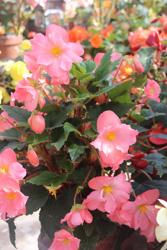 Pink Begonias, Mendocino Coast Botanical Garden