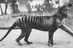 Thylacine image courtesy of Discovery Magazine