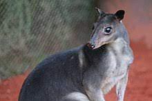 Gray Dorcopsis, courtesy of wikipedia