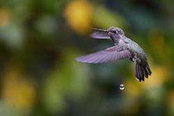 Anna's Hummingbird. Image by Mark Speaker Yuan